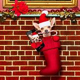 christmas santa claus dog in stockings for xmas