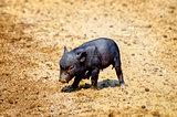 Little Black Pig