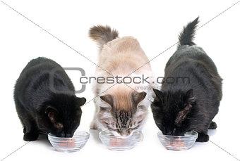 cats eating on studio