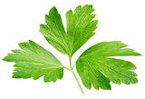 Garden parsley herb (coriander) leaf isolated on white