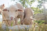 Lambs feeding from a white bucket
