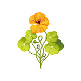 Nasturtium Wild Flower Hand Drawn Detailed Illustration