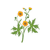 Buttercup Wild Flower Hand Drawn Detailed Illustration