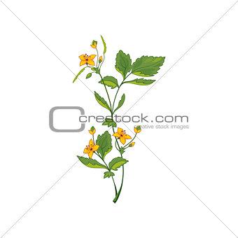 Celandine Wild Flower Hand Drawn Detailed Illustration