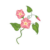 Morning Glory Wild Flower Hand Drawn Detailed Illustration