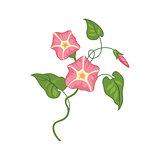 Morning Glory Wild Flower Hand Drawn Detailed Illustration