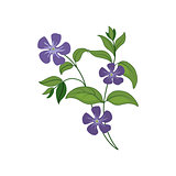 Periwinkle Wild Flower Hand Drawn Detailed Illustration