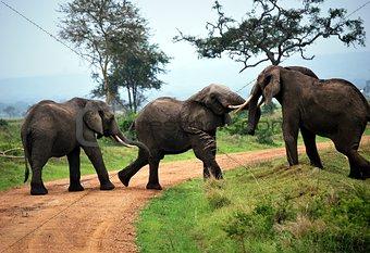 Three elephants play on the dirt track