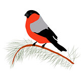 Bullfinch on the fir branch. Winter or christmas vector illustration