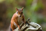 Red Squirrel on Old Tree