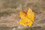 Maple Leaf and Sandstone