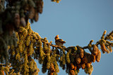 Bohemian Waxwing Sitting in Tree