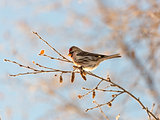 Common Redpoll Sitting on a Birch Branch