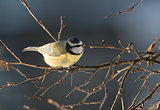Eurasian Blue Tit Bird on Branch