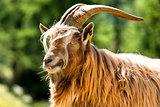 Mountain Male Goat - Italian Alps