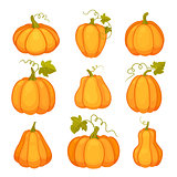 Agricultural plant isolated on white background. Orange and yellow pumpkins with leaves and stalks. Cartoon flat style vector illustration