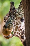 giraffe feeding on green leaves of lettuce