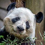 giant panda eating green  bamboo