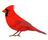 Northern Cardinal bird