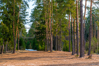 Beautiful spring landscape of pine forest