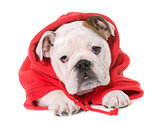 dressed puppy english bulldog