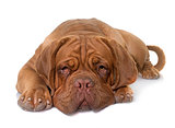 young dogue de bordeaux