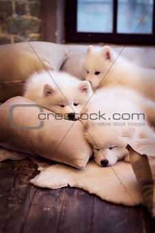Three dogs on pillows