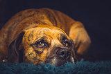 Cute Dog laid on Rug
