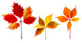 Autumn Leaves Isolated Set
