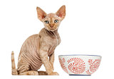 Devon rex with a bowl isolated on white