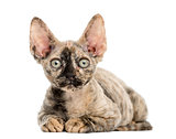 Devon rex kitten lying down isolated on white