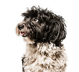 Close-up of Havanese looking away from camera, isolated on white