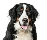 Close-up of Bernese Mountain Dog panting, isolated on white