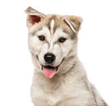 Close-up of Siberian Husky Puppy, isolated on white