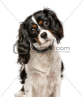 Cavalier King Charles Spaniel tilting head and looking at camera