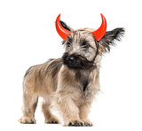 Skye Terrier dog with horns isolated on white