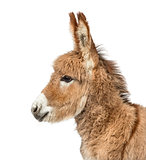 Close-up of Provence donkey foal isolated on white