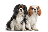 Two Cavalier King Charles Spaniels, sitting together