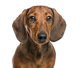 Close-up of Dachshund, 6 months old, isolated on white