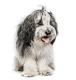 Polski Azwerty Nizinny, 2 years old, isolated on white