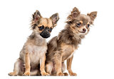 Two Chihuahua puppies, isolated on white