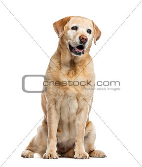old Labrador Retriever, 11 years old, isolated on white