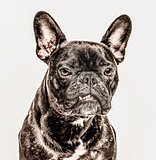 Close-up of French Bulldog, 2 years old, isolated on white