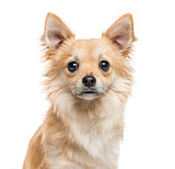 Close-up of Chihuahua, 11 months old, isolated on white