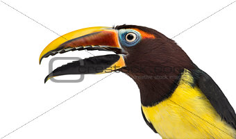 Green aracari opening his beak isolated on white