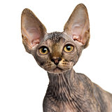 Close-up of a Sphynx kitten looking up isolated on white