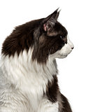 Close-up of a Maine Coon isolated on white
