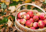 wicker basket of ripe red apples at autumn garden
