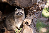 Raccoon in hollow tree trunk