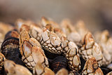 Gooseneck barnacle Pollicipes polymerus
